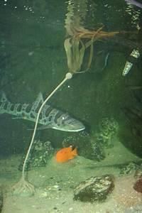 Bull Kelp  U2013 Pangea America