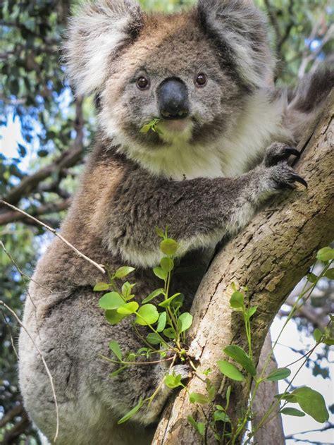 koala the australian museum
