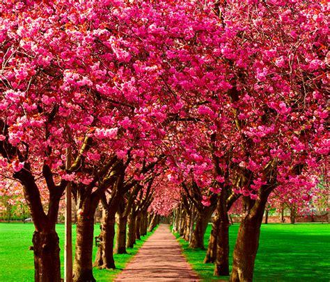 Wallpaper Allee Spring Nature Flowering Trees
