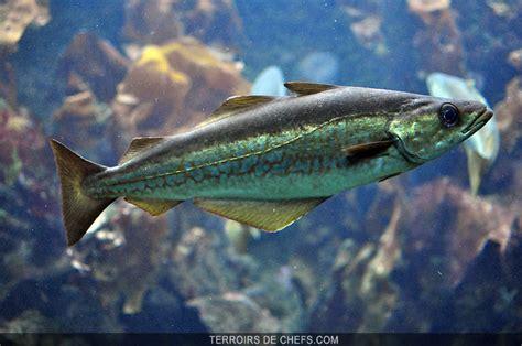 cuisiner de la lotte le lieu jaune un poisson au gout délicat