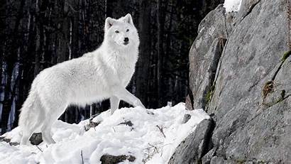 Wolf Wallpapers Nature Loading