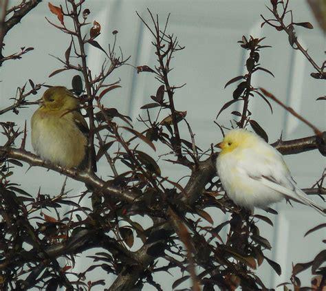 leucistic american goldfinch  eastern maryland feederwatch