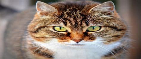 3 สายพันธุ์แมวต่างประเทศ ที่คนไทยนิยมเลี้ยง