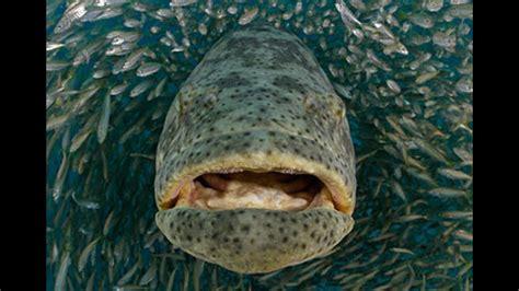 grouper giant diver dmfd eats