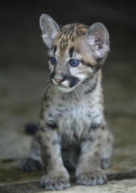 imagenes de bebe puma