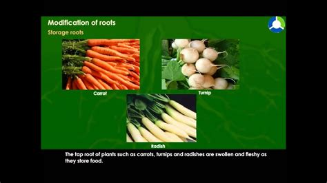 Names Of Modified Roots modification of roots