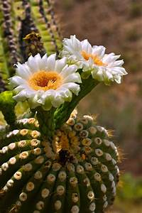 Cactus Flowers | Desert Cactus and Flowers | Pinterest