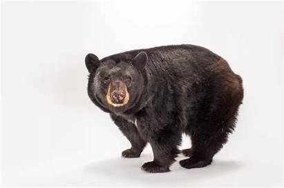 Bear American North Colorado Attack Teen Head
