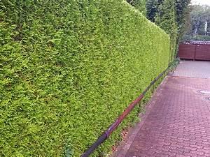 Lebensbaum Hecke Schneiden : thuja hecke schneiden tipps f r den schnitt ~ Eleganceandgraceweddings.com Haus und Dekorationen