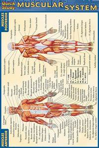 Muscular System Laminated Pocket Guide  9781572227606