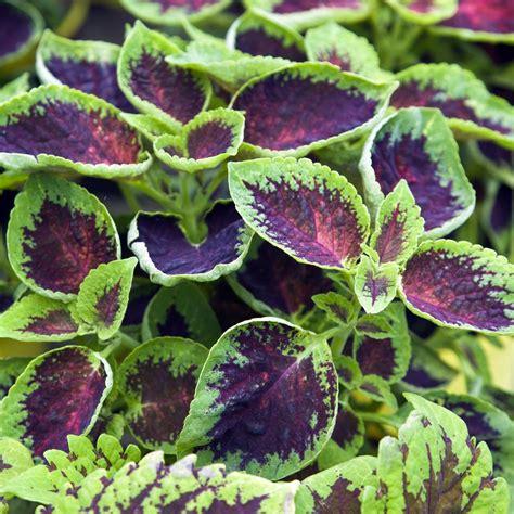 what is a coleus plant how to grow coleus plants