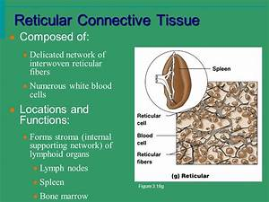 Chapter 3 Connective Tissue Muscle Tissue Nervous Tissue ...