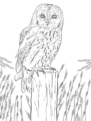 tawny owl coloring page supercoloringcom