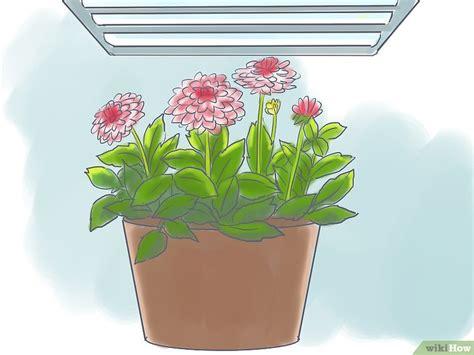 dalie in vaso 3 modi per coltivare la dalia in vaso wikihow
