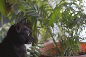 Kirschlorbeer Ungiftige Sorte : welche ungiftige pflanzen f r katzen k nnen sie zu hause haben ~ Orissabook.com Haus und Dekorationen