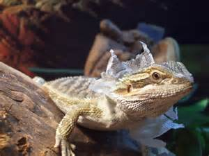what are signs of shedding bearded dragon org