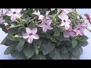 Nicotiana alata - Flowering Tobacco - YouTube