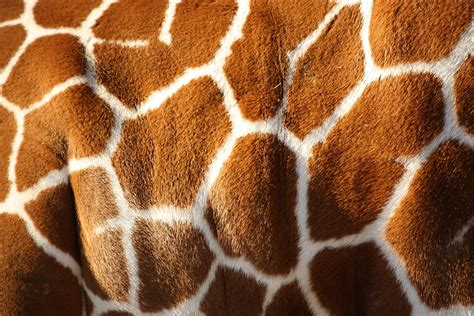 Animal Print Wallpaper Giraffe - giraffe wallpapers wallpaper cave