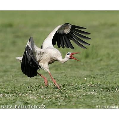 White Stork Pictures ImagesNaturePhoto