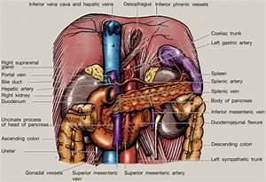 Anatomy Of The Pancreas And Spleen