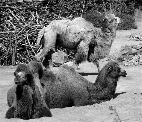 camels llamas  images  pinterest exotic