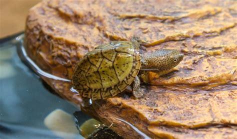 tout connaitre sur les tortues d eau jardinerie truffaut conseils terrariums alimentation