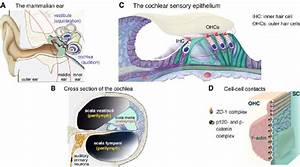 1 The Mammalian Ear  The Inner Ear  And The Hair Cells
