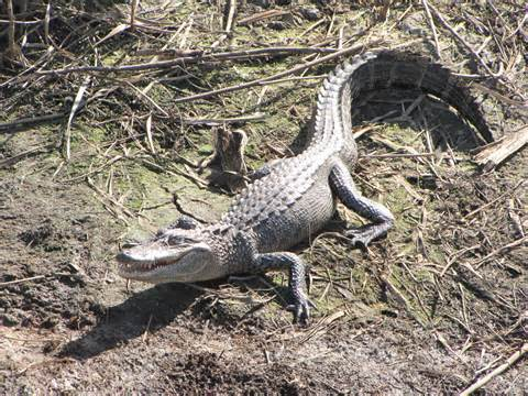 Louisiana Poisonous Lizards