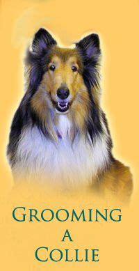 sheltie shed collie grooming collies hunde tiere