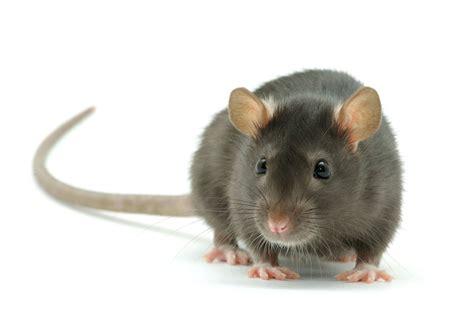 rat complaints  soaring   york city