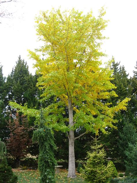ginco trees ginkgo biloba tree pictures detailed information on ginkgo biloba trees