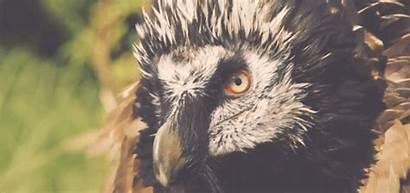 Vulture Bearded Animal Becausebirds Vultures Evil Vile