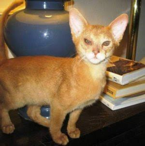 encyclopedia  cats breed red abyssinian cat sorrel