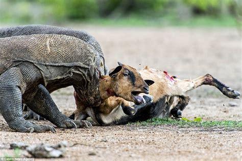 pair  komodo dragons catch  kill  unsuspecting goat