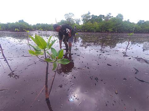 mangrove  kembali bersemi  banggai mongabaycoid