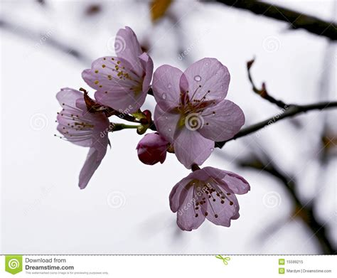 Lovely Cherry Blossom Branches Stock Image Image of