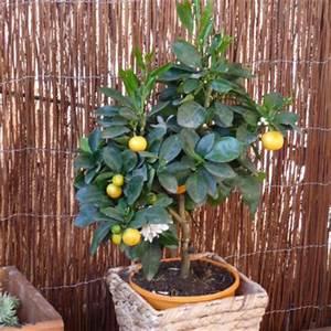 Zitruspflanzen Gelbe Blätter : zitruspflanzen im k bel anbauen und pflegen ~ Orissabook.com Haus und Dekorationen