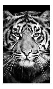 Animals, Tiger, predator, black and white backgroun ...