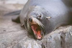 Southern American Fur Seal