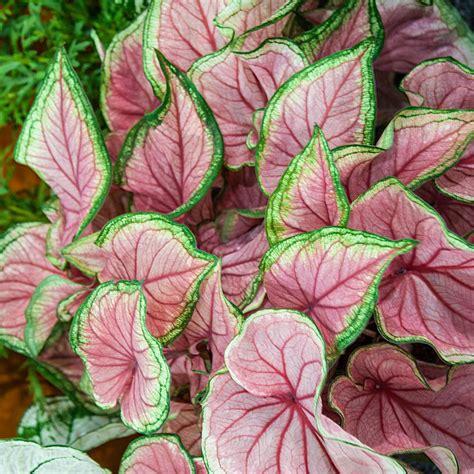 brecks multi colored foliage florida sweetheart caladium