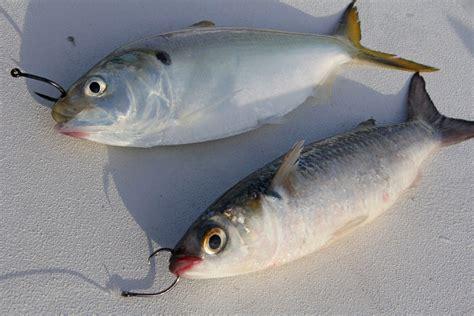 bait fishing flounder saltwater hooks rigging hook rig fish rigs catching baits mustad tips anchovies vmc hooking gamakatsu circle chart