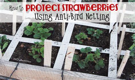 protect strawberry plants  anti bird netting