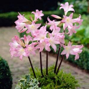 amaryllis belldonna dormant bulbs 2 pack 70131 the