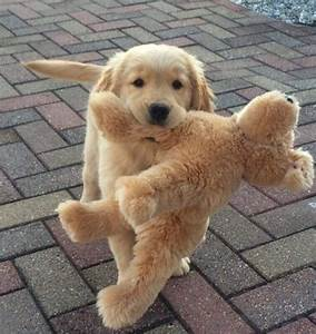 golden puppy holding a stuffed golden puppy! | A N I M A L ...