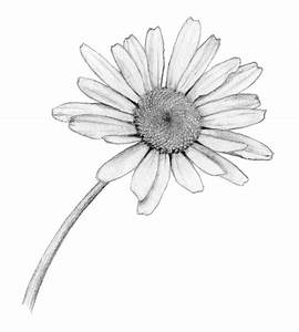 Ox-eye daisy | Aster flower tattoos, Tattoo and Tattoo black