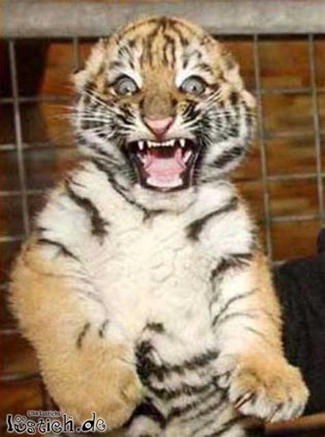 boeser tiger bild lustichde