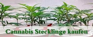 Fuchsien Stecklinge Kaufen : cannabis stecklinge kaufen marihuana pflanzen ~ Michelbontemps.com Haus und Dekorationen