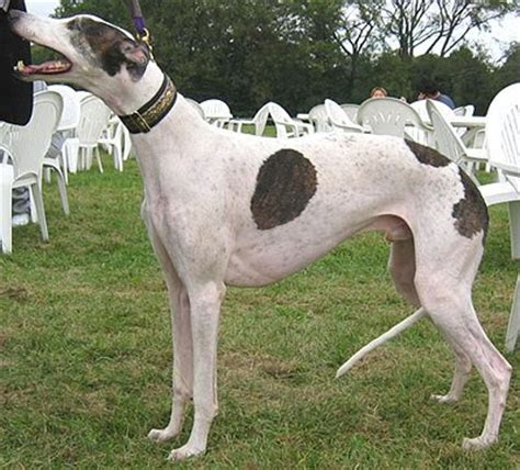 greyhound dog breed pictures dog pictures