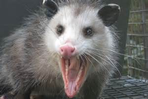 Baby Opossum Teeth