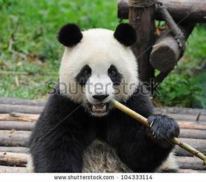 images of baby panda bear eating bamboo golfclub